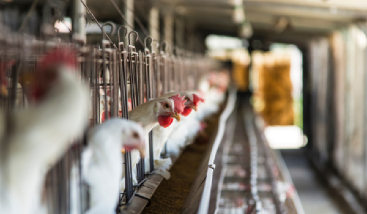Polskie rolnictwo w cieniu ferm przemysłowych